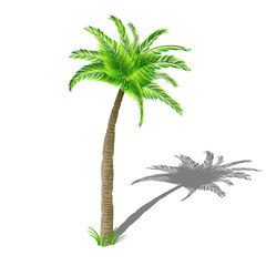 Coconut palm tree with shadow, with green leaves isolated on white background