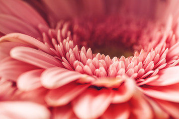 Photo sur Toile Gerbera macro photography of pink daisy or gerbera, floral background with petals