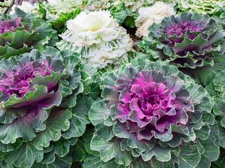 Organic collard white and red cabbage garden salad