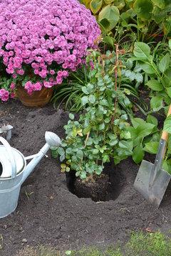 Schritt 9 Rosen Containerrosen einpflanzen - Größe Pflanzloch