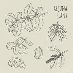 Arjuna, medical botanical ayurvedic tree. Plant, fruit, flowers, bark, leaves hand drawn set. Vintage contour isolated illustration.