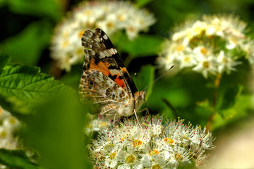 Butterfly painted lady sitting on the flower of the summer field.
