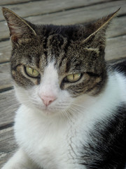 Stray cat looking at the camera. Portrait of a street cat looking into the camera