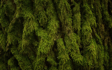 Green thuja tree texture