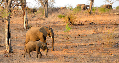 A mother and baby elephant walking with a herd of elephants