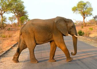 Lone elephant walking across a road