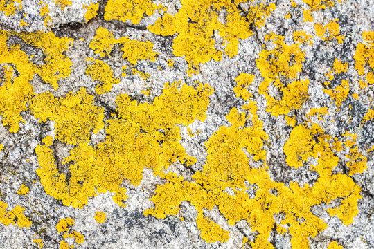 yellow lichen or moss set on gray granite rock