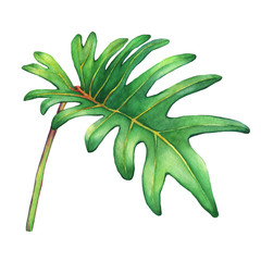 Tropical green leaf of philodendron Xanadu plant. Hand drawn watercolor painting.
