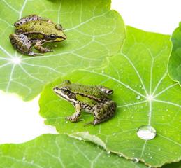 Wall Mural - rana esculenta - common european green frog on a dewy leaf