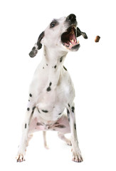 dalmatian dog in studio