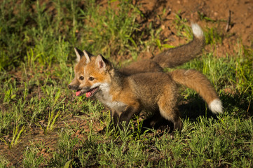 Red Fox Kits (Vulpes vulpes) Stand Together