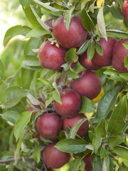 Close-up of red apples on a tree