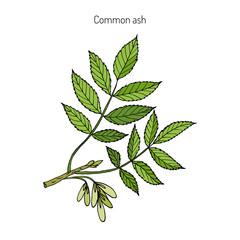 Common Ash Tree Branch