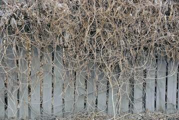 Заросший деревянный забор