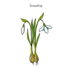 Snowdrop, spring flower