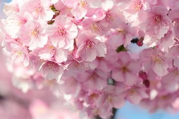 Foto op Canvas Kersenbloesem Sakura