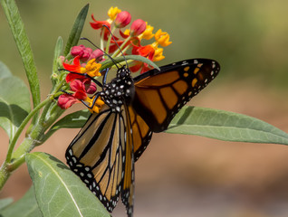 Monarch Butterfly displays wing detail while clinging to the Milkweed as it feeds