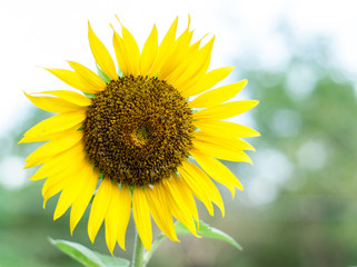 Lonely sunflower. Spring background