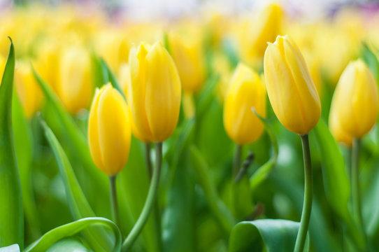Beautiful yellow tulip flowers field