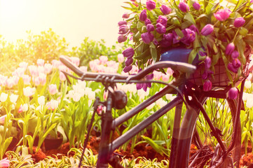 Old retro bicycle with Tulip flowers.
