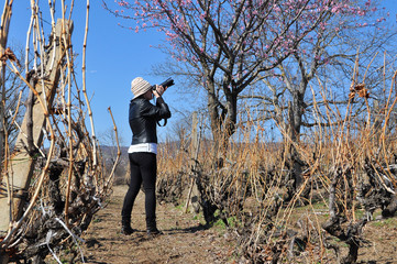 Girl taking photos of Sakura or cherry tree flowers blossom in vineyard. Woman in vineyard taking photo