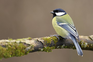 Parus major, Blue tit . Wildlife landscape, titmouse sitting on a branch moss-grown..  Europe, country Slovakia. Meise.