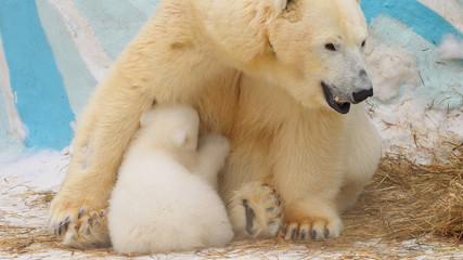 Polar she-bear feeds her cub in winter