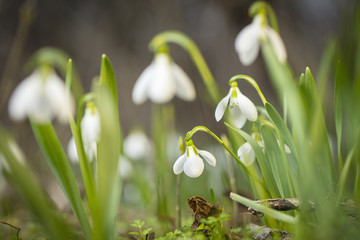 one snowdrop in from group in close up view