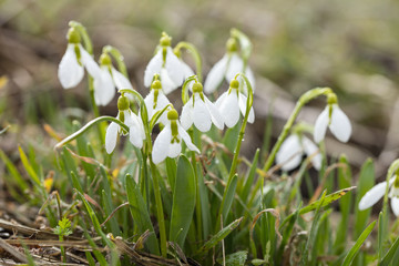 group of snowdrops in summer day