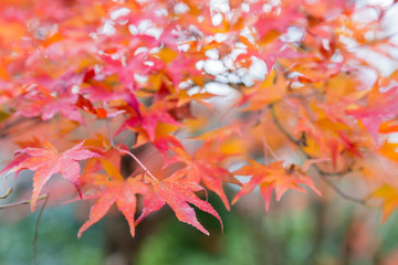 Red maple leaf in autumn season, selective focused