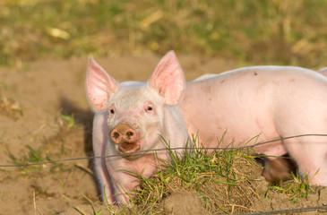 Freches Schweinchen hinter Elektrozaun auf Freilandhaltung