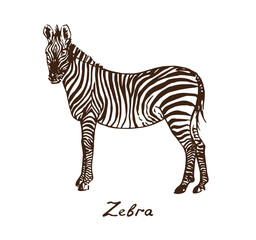 Zebra standing, with inscription, hand drawn doodle, sketch in pop art style, vector illustration