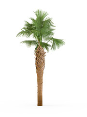 Sabal Palmetto isolated on white background. 3D Rendering, Illustration.