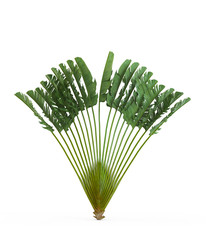 Ravenala madagascariensis isolated on white background. 3D Rendering, Illustration.