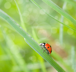 ladybug crawling on the grass closeup in nature