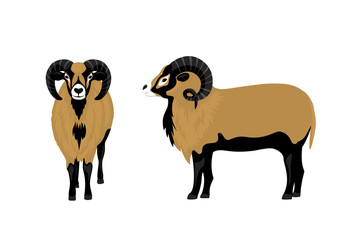 Mouflon sheep vector illustration , side and front view