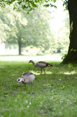 Geese searching for food in de grass