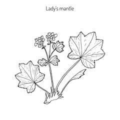 Alchemilla vulgaris, common lady mantle