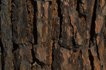 Bark of old Siberian pine background texture