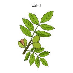 Walnut branch Juglans regia