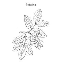 Pistachio or Pistacia vera
