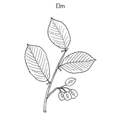 Field Elm Hand drawn illustration