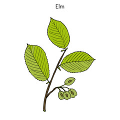 Field Elm Ulmus minor