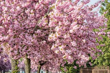 Flowering sakura trees in the street