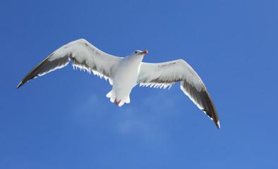 Western Seagull in California