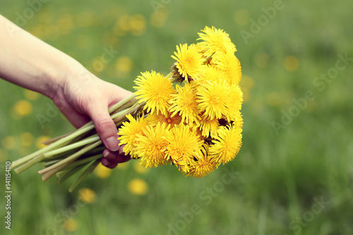 summer gift/ Bouquet of yellow dandelions in hand on lawn background