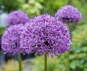 Allium Purple Sensation(Allium aflatunense)_ Baden-Baden, Germany.
