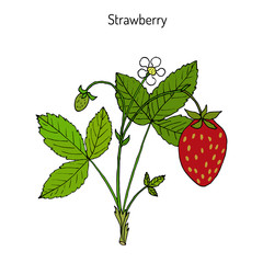 Garden strawberry Fragaria ananassa