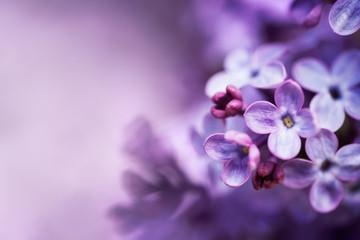 Lilac flowers spring blossom background