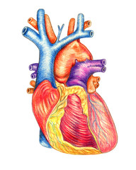 The human heart viewed from the front, hand drawn medical illustration, color pencils drawing with imitation of lithography